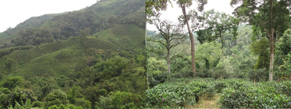 Tea Plantation and Tea Garden